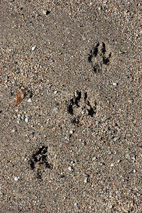 We had the very large Molera State Park pretty much to ourselves, but some other critter had visited the beach before us.