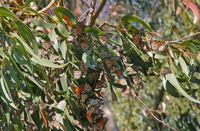 Monarchs also gather in the eucalyptus groves in Molera State Park.