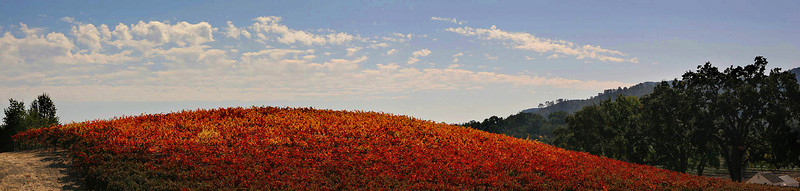 October color in the Paso Robles wine country.  A 5-image panorama.