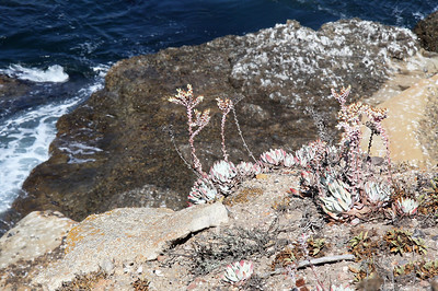 Seaside succulents, Sandhill Cove.  It's Dudleya, according to my personal botanist, Ken Kelley.