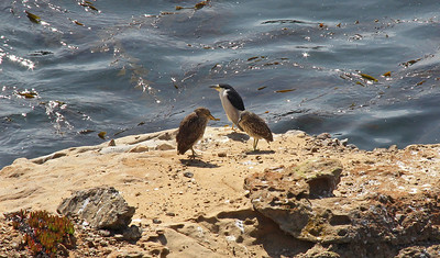 A Black Crowned Night Heron with two chicks on the rocks of Sandhill Cove.