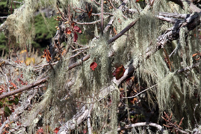 Cypress Grove Trail ... Lichen on poison oak branches.