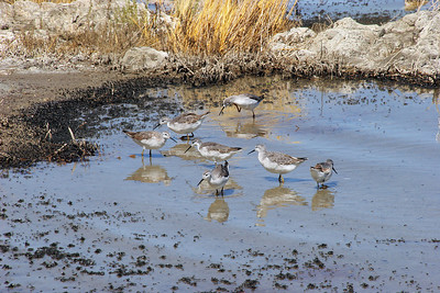 The brine files in turn attract a lot of migrating water fowl.  In particular, Mono attracts a lot of Phalaropes and other small sandpipers, which are the little birds you see here.