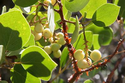 Manazanita berries on the shores of Manzanita Lake.