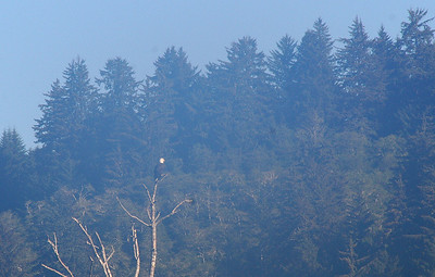 Telephoto shot of a Bald Eagle on the other side of the Klamath River.