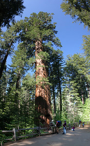9 horizontal images stacked vertically, to capture the full height of one of the major trees in the Tuolumne Redwood Grove.