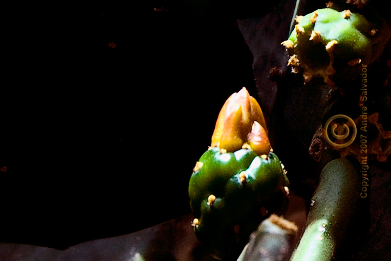 A cactus flower bud reaching out for the light.