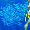 The 28-foot (8.5 m) tall 333,000-US-gallon (1,260,000 l; 277,000 imp gal) Kelp Forest exhibit was designed as the centerpiece of the aquarium, and was the first exhibit in the world to include a living kelp forest. In addition to the bay water provided to all tanks, a surge machine at the top of this exhibit provides the constant water motion that kelp requires. The top of the tank is open, and was situated to maximize its exposure to sunlight during the day, thus further mimicking the bay. 80 species of seaweeds grow in this exhibit, some of which have also entered the aquarium through the water from the bay rather than being deliberately planted. The kelp in this exhibit grows about 4 inches (100 mm) per day, and requires divers to trim it once a week.[