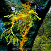 "The Leafy Sea Dragon.<br /> <br /> The leafy seadragon or Glauert's seadragon, Phycodurus eques, is a marine fish in the family Syngnathidae, which also includes the seahorses. It is the only member of the genus Phycodurus. It is found along the southern and western coasts of Australia. The name is derived from the appearance, with long leaf-like protrusions coming from all over the body. These protrusions are not used for propulsion; they serve only as camouflage. The leafy seadragon propels itself by means of a pectoral fin on the ridge of its neck and a dorsal fin on its back closer to the tail end. These small fins are almost completely transparent and difficult to see as they undulate minutely to move the creature sedately through the water, completing the illusion of floating seaweed.<br />  <br /> Popularly known as ""leafies"", they are the marine emblem of the state of South Australia and a focus for local marine conservation."