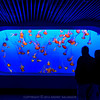 A school of Mediterranean Jellyfish