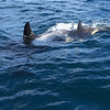 A mother and calf approach our boat