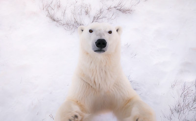 Male polar bear standing on his hind legs, trying to get to the camera -- or me.