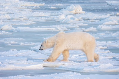 A male polar bear searching for food while walking on thin ice near open, unfrozen water in northern Canada. Climate change issues.