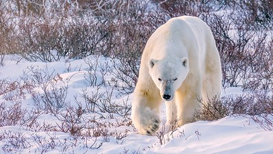 Male Polar Bear Walking Through the Snow