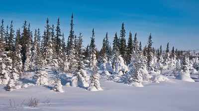 Evergreen trees partially covered by fresh snow on a beautiful crisp, clear winter day in northern Canada, near Churchill, Manitoba.