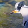 Aves - Birds - Fugle