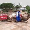 Camel in Marrakech