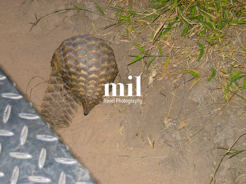 Pangolin on Safari