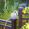 Vervet Monkey in the hotel Garden in Zambia