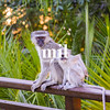 Vervet Monkey in the hotel Garden in Zambia