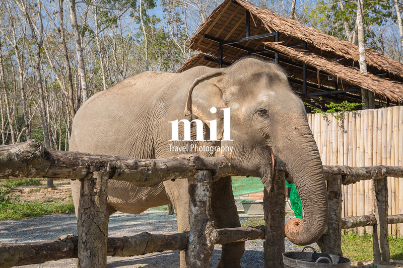 Elephant enjoying their retirement in a rescue sanctuary