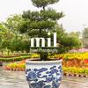 Large Bonsai tree in Hue Vietnam