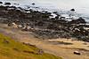 Sheep on the beach on the edge of Arnarfjordur along Ketildalsvegur (619) near Bíldudalur, Westfjords, Iceland. October 2013