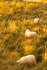 Icelandic sheep at the pseudocraters at Skútustaðagígar of Lake Mývatn, Iceland.  October 2015