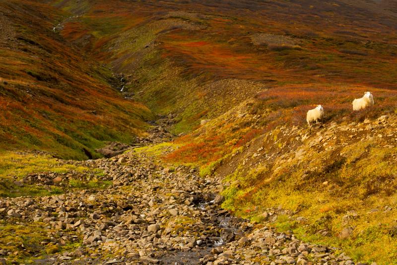 Icelandic sheep, Iceland.  October 2015