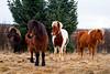 Icelandic horses near Akranes, Iceland. January 2013