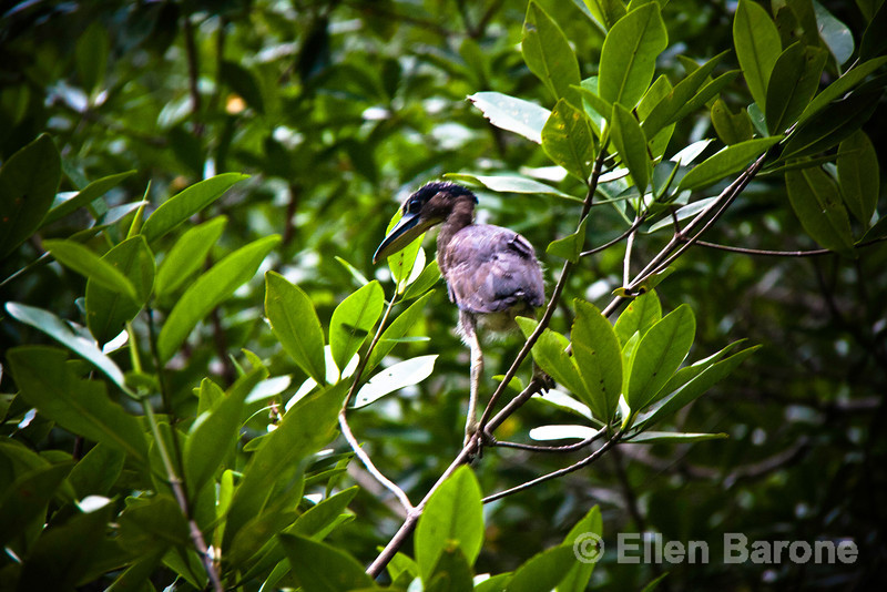 Only days-old this boat-billed heron navigates his way from the nest in the mangroves of Madresal.