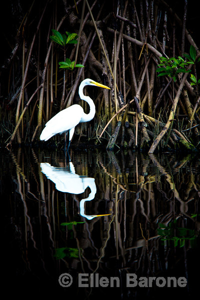 White egret in mangrove, Madresal, a community-built eco-friendly beach camp. Pacific Coast, Chiapas, Mexico.