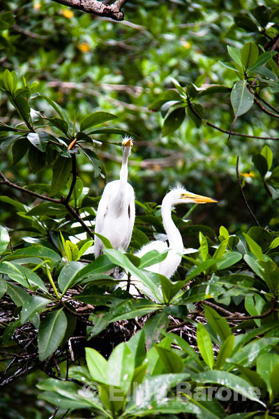 Juvenile egrets in nest, Mangrove boat tour, Madresal, a community-built eco-friendly beach camp Pacific Coast, Chiapas, Mexico.