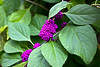 Callicarpa dichotoma 'Early Amethyst' (Purple Beautyberry), Hilton Head Island, South Carolina, USA, North America.