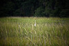 White egret is salt marsh grasses, Hilton Head Island, South Carolina, USA, North America.