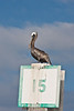 Brown pelican perched atop waterway navigational marker, Hilton Head Island, South Carolina, USA, North America.