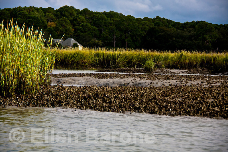 Oyster beds at low tide, Hilton Head Island, South Carolina, USA, North America.