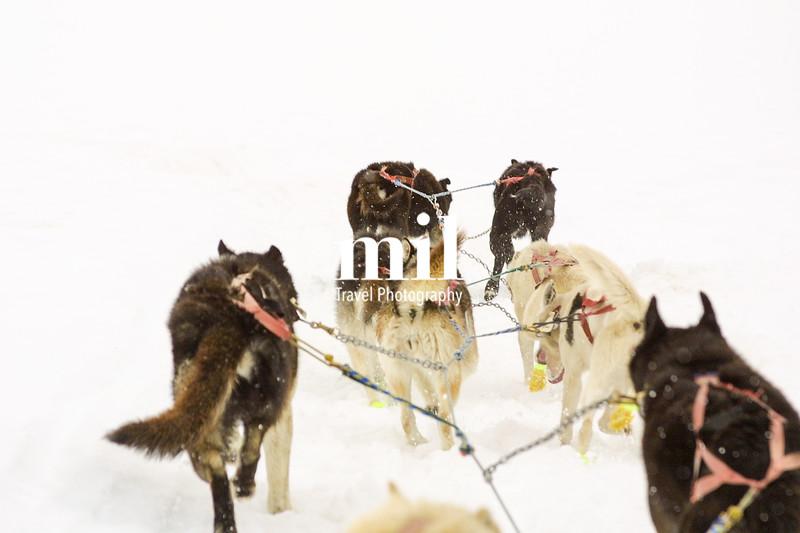Husky Dog Sled Team