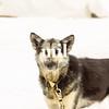 husky in Alaska