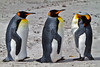 King Penguins, Saunders Island, Falkland Islands.  November 2009