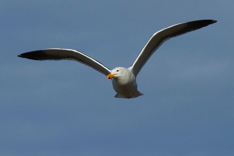 Gull, Saunders Island, Falkland Islands.  December 2009