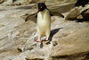 Southern Rockhopper Penguin, Saunders Island, Falkland Islands.  November 2009
