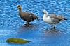 Upland Geese, Sea Lion Island, Falkland Island. November 2009
