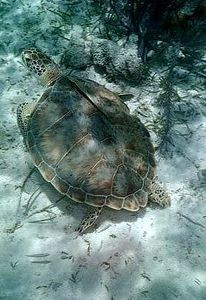 Green sea turtle with remora
