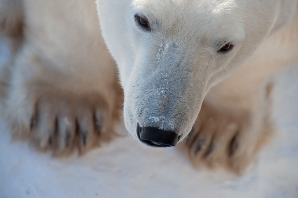 Churchill Polar Bears, December 2014