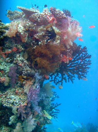 Taveuni's Rainbow Reef in the Somosomo Straits is often called the soft coral capital of the world
