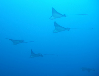 Eagle rays at Wolf Island