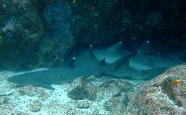 Sleeping whitetip reef sharks at North Seymour Island