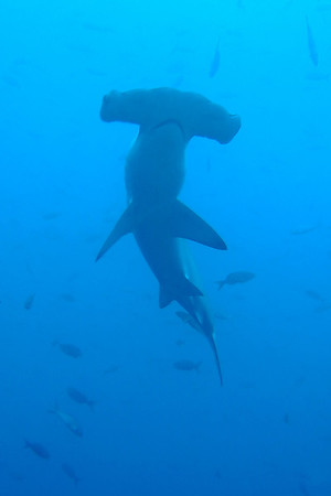 Scalloped hammerhead – an underwater first for us