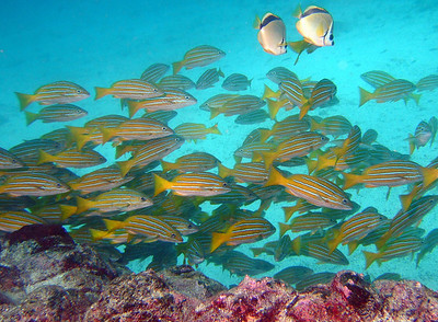 Blue and gold snapper and butterflyfish